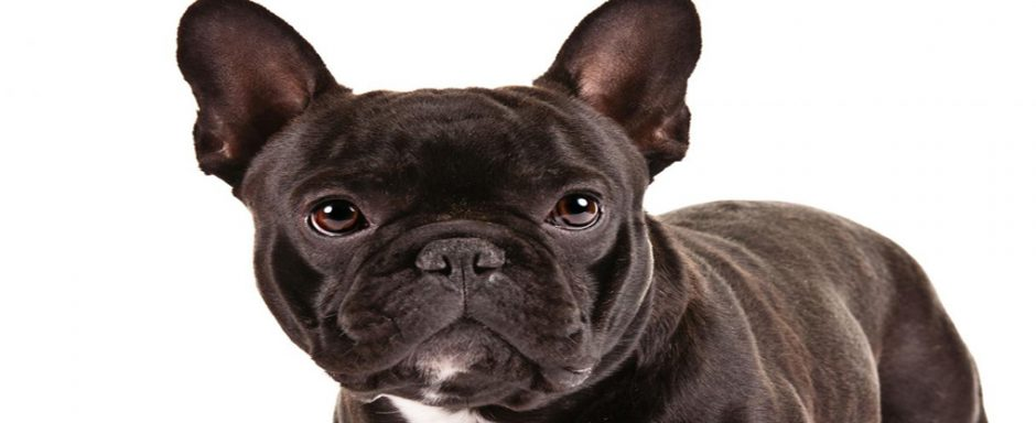 French Bulldog- Basic information